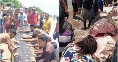 Pescadores mataron y picaron un tiburón ballena en Anzoátegui