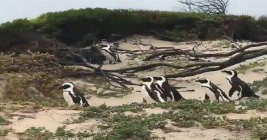 ¿Pingüinos en Paraguaná? Lo que sabemos