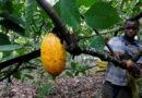 Gran parte del suministro mundial de chocolate depende del trabajo de más de un millón de niños