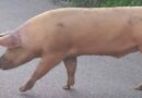 «Es un animal salvaje»: Hombre fue mordido por un cerdo en pleno centro de Caracas